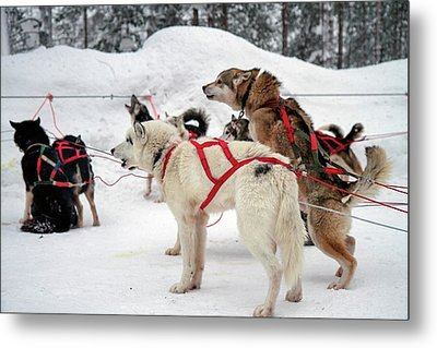 Husky Dogs Pull A Sledge Metal Print by Photostock-israel