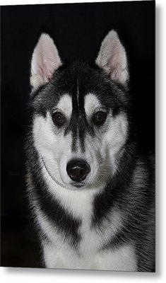 Husky Portrait Metal Print