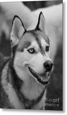 Husky Portrait Metal Print by Vicki Spindler