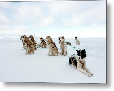 Husky Sled Dogs Metal Print