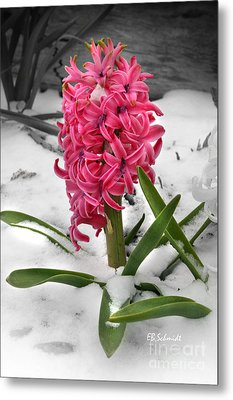 Hyacinth In The Snow Metal Print by E B Schmidt