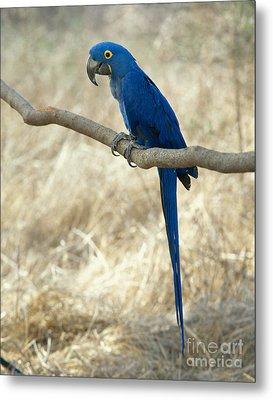 Hyacinth Macaw Metal Print by Hans Reinhard