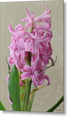 Hyacinth Pink Metal Print by Jeff Kolker