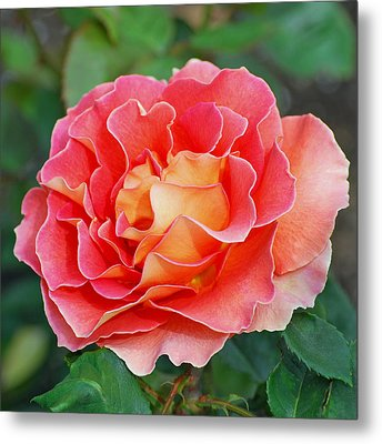 Hybrid Tea Rose  Metal Print by Lisa Phillips