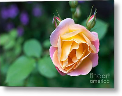 Metal Print featuring the photograph Hybrid Tea Rose by Matt Malloy