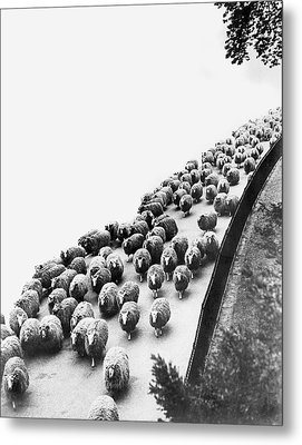Hyde Park Sheep Flock Metal Print by Underwood Archives