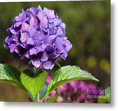 Metal Print featuring the photograph Hydrangea by Belinda Greb