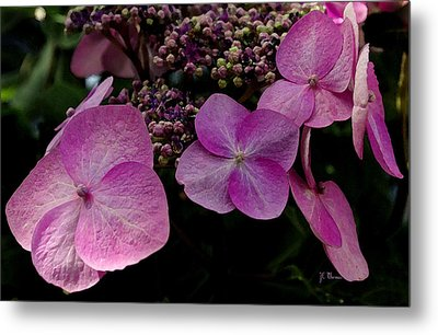 Metal Print featuring the photograph Hydrangea Flowers  by James C Thomas