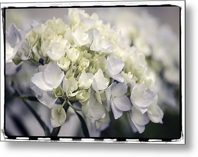 Metal Print featuring the photograph Hydrangea  by Craig Perry-Ollila
