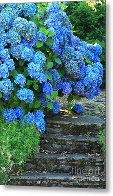 Hydrangea Steps 2 Metal Print by Jeanette French