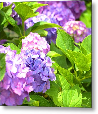 Metal Print featuring the photograph Hydrangeas In The Sun by Rachel Mirror