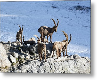 Ibex By A Glacier Metal Print by Science Photo Library
