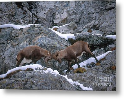 Ibexes Sparring Metal Print by Art Wolfe