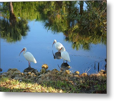 Ibis In Three Metal Print by Val Oconnor