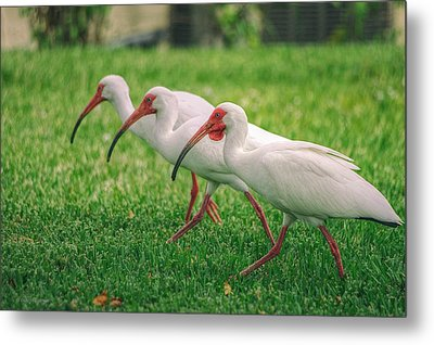 Ibis Lawn Service Metal Print by Dennis Baswell