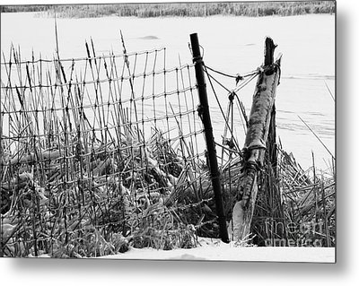 Ice Coated Wire Fence And Rushes After A Winter Storm Metal Print by Louise Heusinkveld