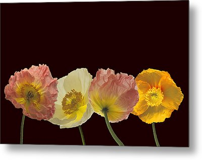 Metal Print featuring the photograph Iceland Poppies On Black by Susan Rovira