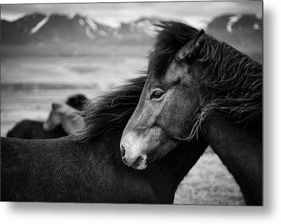 Icelandic Horses Metal Print by Dave Bowman