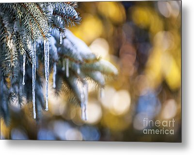 Icicles On Fir Tree In Winter Metal Print
