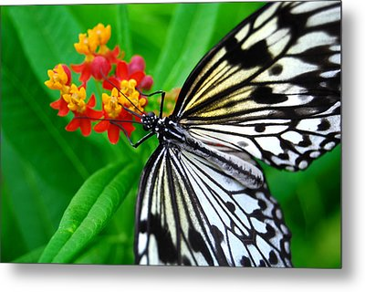Metal Print featuring the photograph Idea Leuconoe by Carsten Reisinger