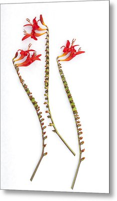 If Seahorses Were Flowers Metal Print by Carol Leigh