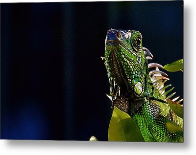 Metal Print featuring the photograph Iguana On Black by Pamela Blizzard