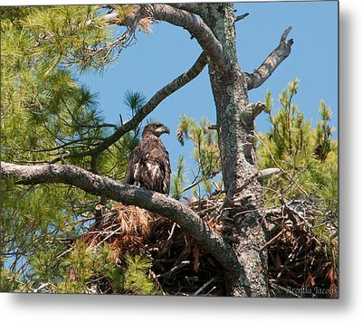 Immature Bald Eagle Metal Print by Brenda Jacobs