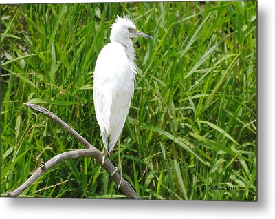 Immature Little Blue Heron On Watch Metal Print by Dan Williams