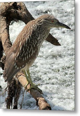 Metal Print featuring the photograph Immature Night Heron by Kenny Glotfelty