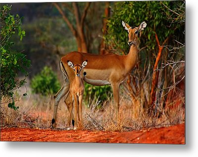 Impala And Young Metal Print