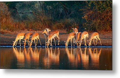 Impala Herd With Reflections In Water Metal Print by Johan Swanepoel