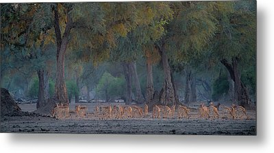 Impalas At Dawn Metal Print by Giovanni Casini