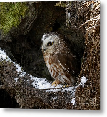 In Hiding Saw Whet Owl In A Hollow Stump Is Part Of The Birds Of Prey Fine Art Raptor Wildlife Photo Metal Print by Inspired Nature Photography Fine Art Photography