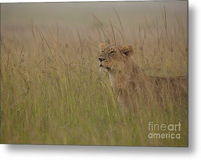 In Search Of Cubs Metal Print by Ashley Vincent