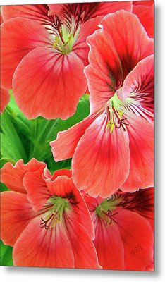 In The Garden. Geranium Metal Print by Ben and Raisa Gertsberg