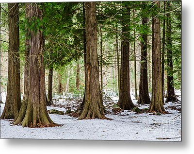 Metal Print featuring the photograph In The Thuja Forest by Kennerth and Birgitta Kullman
