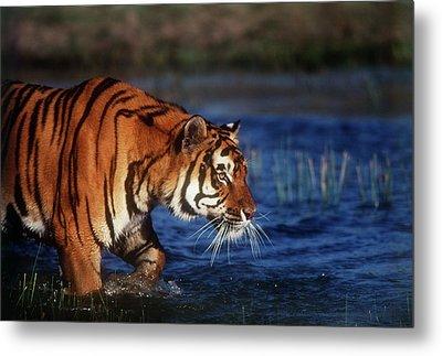India, Bengal Tiger (panthera Tigris Metal Print by Stuart Westmorland