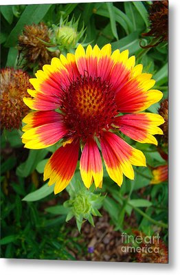 Indian Blanket Flower Metal Print by Sue Melvin