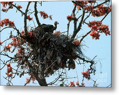 Indian Longbilled Vulture Metal Print