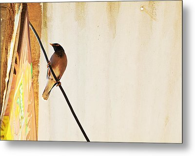 Indian Myna Comes To Dinner Metal Print by Kantilal Patel