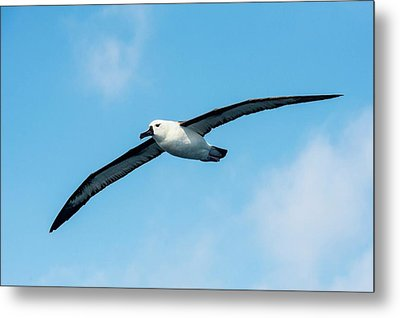 Indian Ocean Yellow-nosed Albatross Metal Print by Peter Chadwick