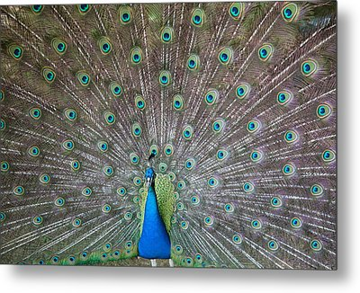 Indian Or Blue Peacock Metal Print by Unknown