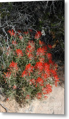 333p Indian Paintbrush Flower Metal Print