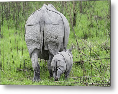 Indian Rhinoceros And Week Old Calf Metal Print