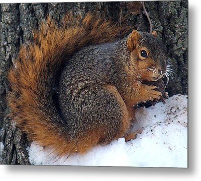 Indiana Squirrel In Winter With Nut Metal Print by Steve Archbold