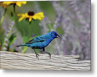 Indigo Bunting (passerina Cyanea Metal Print by Richard and Susan Day