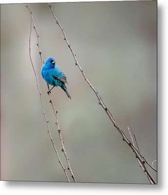 Indigo Bunting Square Metal Print by Bill Wakeley