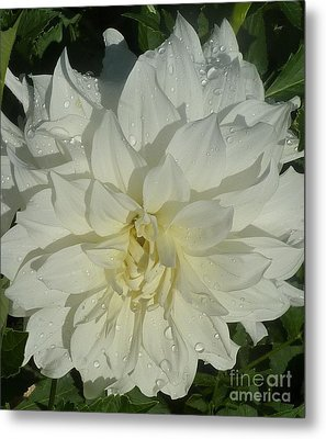 Metal Print featuring the photograph Innocent White Dahlia  by Susan Garren