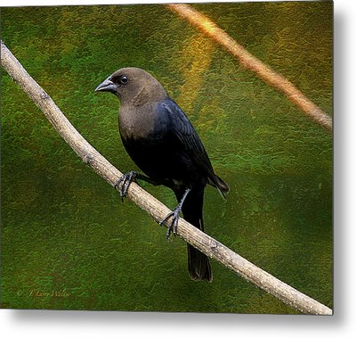 Metal Print featuring the digital art Inquisitive Cowbird by J Larry Walker