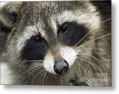 Inquisitive Raccoon Metal Print by Jane Axman
